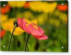 Pink Poppy  Acrylic Print by Jeanne May