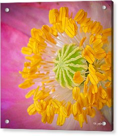 Pink Poppy Too Squared Acrylic Print