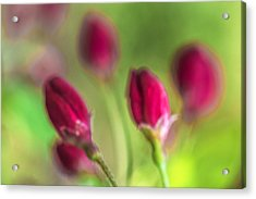 Pink Red Buds Acrylic Print