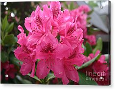 Pink Rhododendron Bloom Acrylic Print