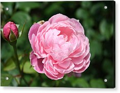 Acrylic Print featuring the photograph Pink Rose 2 by Ellen Tully