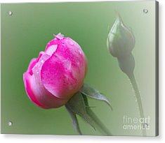 Pink Rose And Raindrops Acrylic Print