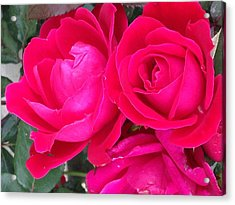 Pink Rose Blossoms Acrylic Print