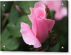 Pink Rose Acrylic Print by Carolyn Ricks