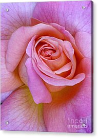 Pink Rose Close-up Acrylic Print by Paul Clinkunbroomer