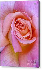 Pink Rose Closeup II Acrylic Print by Paul Clinkunbroomer