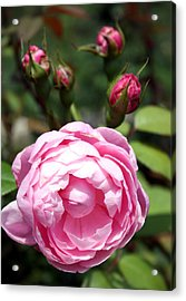 Acrylic Print featuring the photograph Pink Rose by Ellen Tully