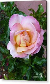 Pink Rose Flowering Acrylic Print by Paul Clinkunbroomer