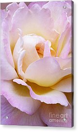 Pink Rose Forming Acrylic Print by Paul Clinkunbroomer