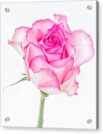 Pink Rose Glory Acrylic Print