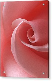 Pink Rose II Acrylic Print