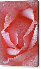 Pink Rose IIi Acrylic Print