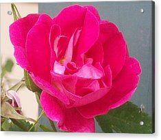 Pink Rose Acrylic Print by Jewel Hengen