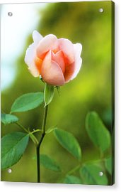 Acrylic Print featuring the photograph Pink Rose by Jim Poulos