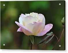 Acrylic Print featuring the photograph Pink Rose by Jodi Terracina