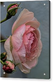 Pink Rose Acrylic Print by Leif Sohlman