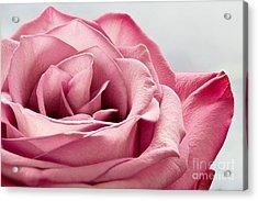 Pink Rose Macro Acrylic Print