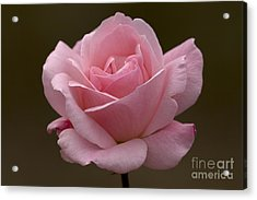 Acrylic Print featuring the photograph Pink Rose by Meg Rousher
