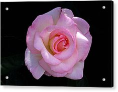 Pink Rose On Black Acrylic Print by David Rizzo