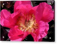 Pink Rose Series 114 Acrylic Print