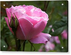 Pink Rose Acrylic Print by Terry Horstman
