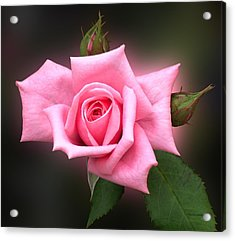 Pink Rose Acrylic Print by Thomas Woolworth