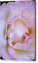 Pink Rose With Morning Mist Acrylic Print