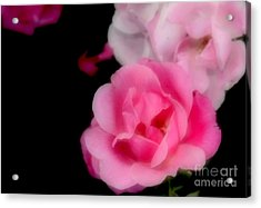Pink Roses Acrylic Print by Kathleen Struckle