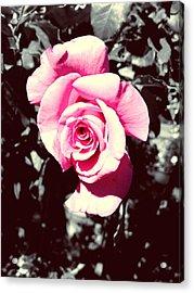 Pink Rosetta  Acrylic Print by Sherry Flaker