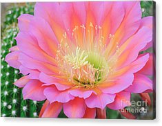 Pink Saucer Acrylic Print