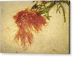 Pink Seaweed Red River Beach Harwich Cape Cod Ma Acrylic Print by Suzanne Powers