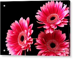 Pink Sisters Acrylic Print by Eden Baed