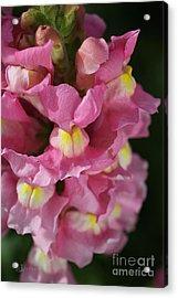 Pink Snapdragon Flowers Acrylic Print by Joy Watson