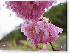 Pink Spring Tree Blossoms Art Prints Acrylic Print by Baslee Troutman