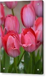 Pink Spring Tulips Acrylic Print