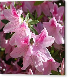 Pink Star Azaleas In Full Bloom Acrylic Print