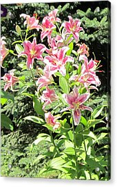 Pink Stargazer Lilies-greeting Card Acrylic Print