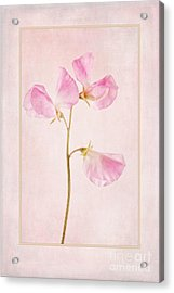 Pink Sweet Pea Acrylic Print by John Edwards