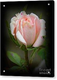 Pink Tea Rose Acrylic Print