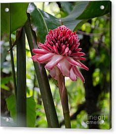 Acrylic Print featuring the photograph Pink Torch Ginger by Laurel Best