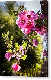 Pink Trumpet Acrylic Print