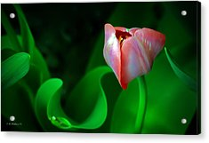 Pink Tulip Acrylic Print by Brian Wallace
