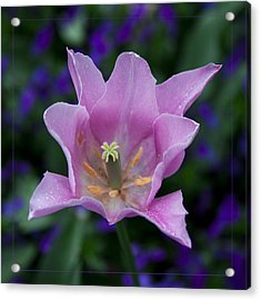 Pink Tulip Flower With A Spot Of Green Fine Art Floral Photography Print Acrylic Print by Jerry Cowart