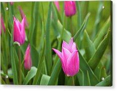 Pink Tulip Flowers, Niagara Falls Acrylic Print