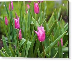 Pink Tulip Flowers Acrylic Print