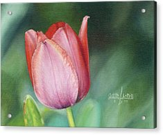 Pink Tulip Acrylic Print by Joshua Martin