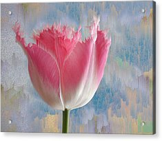 Pink Tulip Acrylic Print by Mark Greenberg