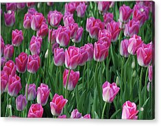 Acrylic Print featuring the photograph Pink Tulips 2 by Allen Beatty