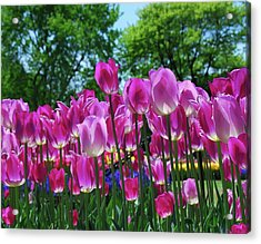 Acrylic Print featuring the photograph Pink Tulips by Allen Beatty