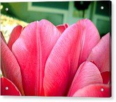 Pink Tulips Acrylic Print by Elizabeth Fredette